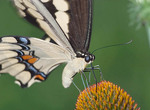 Close-up of Giant Swallowtail