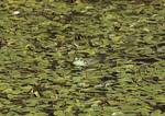 Frog in small pond