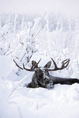 Moose in winter snow