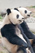 giant pandas a thet panda breeding and research center chengdu china