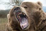 Close up of grizzly bear