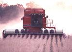Combine harvesting soy bean fields