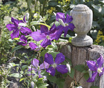 Purple clematis near a fence post