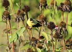 American Gold Finch in Fall coneflowers