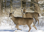 Whitetailed deer in the winter