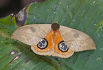 The peacock moth opens its hind wings when startled, exposing the eye spots. These will often startle a predator and give the moth time to escape.
