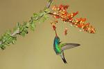 Adult Male  Broad-billed Hummingbird in Madera Canyon, Santa Rita Mountains, Arizona