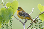 Female Baltimore Oriole in Cottonwood Tree