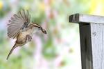 Carolina Wren approaches bird house