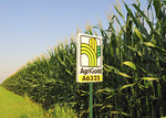 In what seems like a sea of crops that goes on forever, adult corn ( Zea Mays) stalks and ears as they reach full size in cornfield prior to being harvested with crop product sign in the foreground.