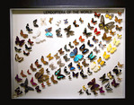 butterfly collection, butterfly world, tradewinds park florida, Butterflies on display, Pinned Butterflies,