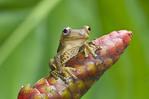 Map Treefrog in Ecuador rainforest