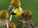 American Goldfinch, Dining On Cone Flower Seeds, Echinacea