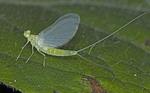 BAETID MAYFLY Baetidae