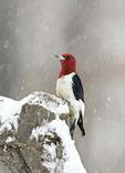 Red-headed Woodpecker in Snow