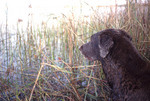 Hunting dog waiting in the weeds for birds