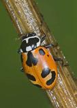 LADYBIRD BEETLE Hippodamia parenthesos