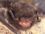 Silvered Haired Bat showing fangs