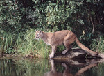 Mountain Lion at waters edge