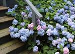 Blue Hydrangeas growing near front steps