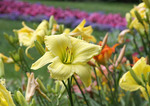 Large yellow day lily