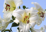 Large white day lilies