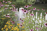Purple coneflowers and black eyed susans along white picket fence