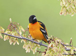Baltimore Oriole in Maple Tree