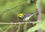 Black-throated Green Warbler in Eastern Hemlock Tree