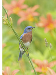 Eastern Bluebird in Daylillies