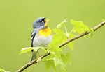 Northern Parula Singing