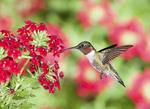 Ruby throated Hummingbird in Verbena
