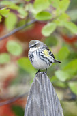Yellow-rumped Warbler on a fence post