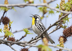 Yellow-throated Warbler in Sweetgum Tree