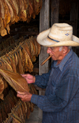 Cuban man inspecting tobacco leafs