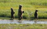 Alaska Brown Bears Mother and Young