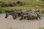 Common zebra at watering hole