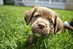 Brown and Black puppy on green grass.