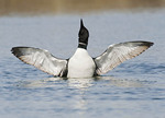 Common Loon spreading wings