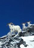 Dall sheep in snow in Alaska