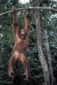 Orangutan-sepilok sanctuary in Malaysia