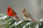 Northern Cardinals in Spruce