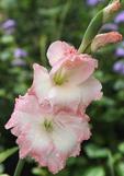 Gladiolus in bloom