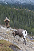 Bighorn sheep being photographed in Jasper National Park, Alberta, Canada