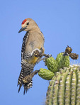 GILA WOODPECKER ON A CACTUS