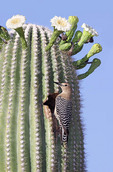 Adult male Gila Woodpecker
