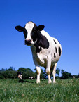 Dairy cow in the pasture