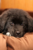 Black puppy, newfoundland, akida mix, 8 weeks