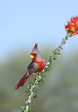 Adult Male Pyrrhuloxia  Cardinal  on Ocotillo branch, Tucson, Arizona