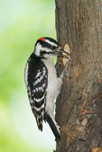 Adult Male Downy Woodpecker at nest hole.